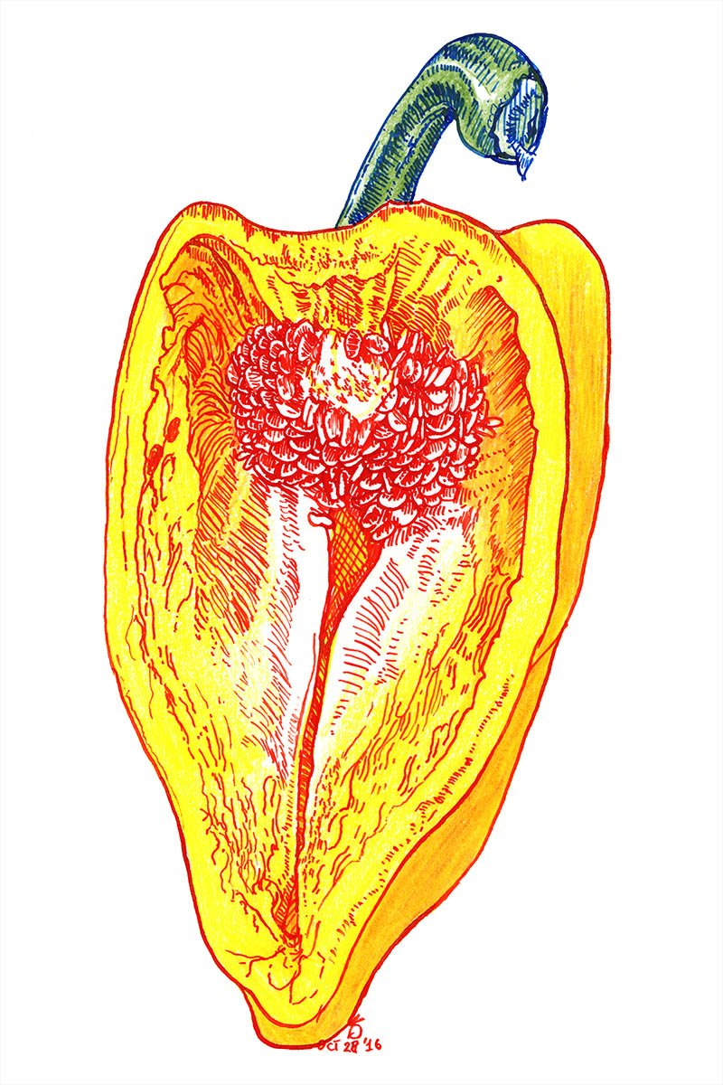 yellow pepper cross section drawing